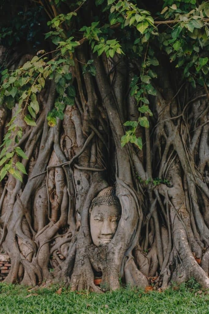 Buddha head wrapped in a banyan tree in Ayutthaya, Thailand